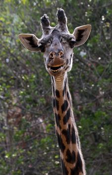 Free Giraffe Royalty Free Stock Images - 22471959