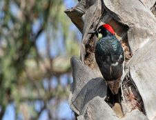 Free Woodpecker Royalty Free Stock Images - 22472789