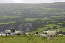 Free Sheep Grazing On Dinas Head Stock Photography - 22475452