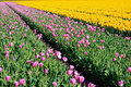 Free Pink And Yellow Tulips Stock Image - 22488681