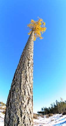 Free Lonely Larch Royalty Free Stock Images - 22483199