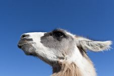Free Lama Stock Image - 22485101
