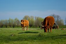 Free Cows On A Meadow Royalty Free Stock Image - 22485216