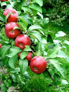 Free Apple Tree Stock Photography - 22486512