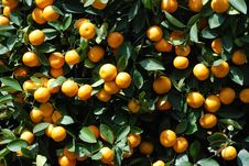 Free Close Up Of Branches With Ripe Tangerines Stock Image - 22487491