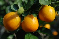 Close Up Of Ripe Tangerines Stock Photos