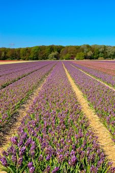 Field Of Purple Hyacinths In Spring Royalty Free Stock Photos