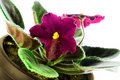 Free Saintpaulia Close-up  Petals Light Violet Colors Stock Photos - 22497143