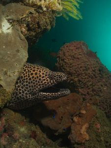 Free Laced Moray Stock Image - 22491831