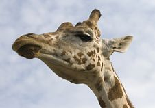 Free Giraffe Royalty Free Stock Images - 22492879