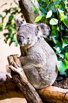 Free Koala Resting Stock Photo - 22495480