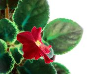 Free Red Flower Saintpaulia Stock Photos - 22497023