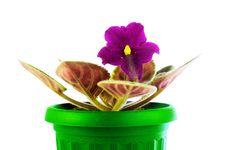 Free Saintpaulia In A Green Pot Royalty Free Stock Photo - 22497165