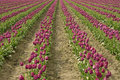 Free Purple Rows Of Tulips Stock Photo - 2251290