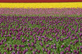 Free Rainbow Tulips Royalty Free Stock Image - 2251306