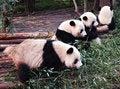 Free Panda Stock Photo - 2253730
