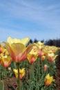 Free Bright Yellow Tulips Stock Photos - 2256113