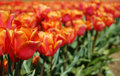 Free Pink And Orange Tulips Stock Image - 2256191