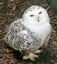 Free Snow Owl 8 Royalty Free Stock Photos - 2258988