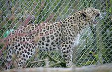 Free Persian Leopard 1 Royalty Free Stock Photo - 2250445