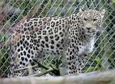 Free Persian Leopard 2 Royalty Free Stock Photography - 2250467