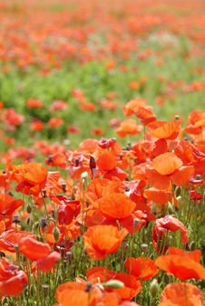 Free Red Poppies Royalty Free Stock Images - 2250469