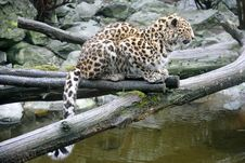 Free Amur Leopard 1 Stock Image - 2250581