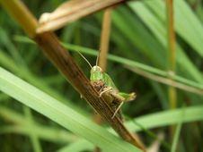Free Grasshopper Stock Photo - 2250600