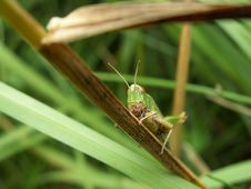 Free Grasshopper Royalty Free Stock Photography - 2250637