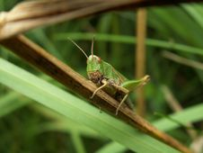 Free Grasshopper Stock Photo - 2250650