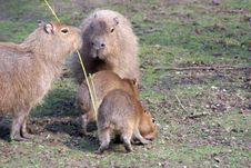 Free Capybara Family Royalty Free Stock Photo - 2251545