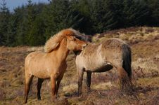 Free Ponies Grooming Each Other Stock Images - 2251704