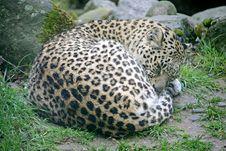 Free Persian Leopard 3 Royalty Free Stock Photos - 2253678