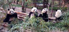 Free Panda Stock Image - 2253711