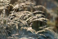Free Dry Reed Grass Stock Photography - 2254702