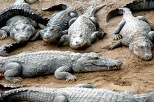 Free Sleeping Crocodiles Royalty Free Stock Photography - 2255177
