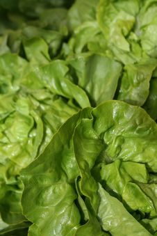Free Organic Boston Lettuce Stock Image - 2255661