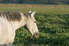 Free Grey Horse—Flea-bite Markings Royalty Free Stock Photography - 2255707