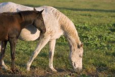 Free Grey Mare And Foal Royalty Free Stock Photo - 2255785