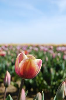 Free Teensy Tulips Royalty Free Stock Photography - 2256267