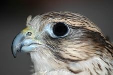 Free Falcon Head 2 Royalty Free Stock Image - 2256536