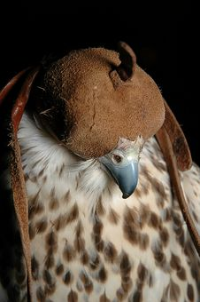 Free Falcon Head Stock Photo - 2256560