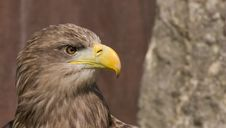 Free Eagle Head Royalty Free Stock Photo - 2256895