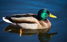 Free Duck Royalty Free Stock Image - 2257726