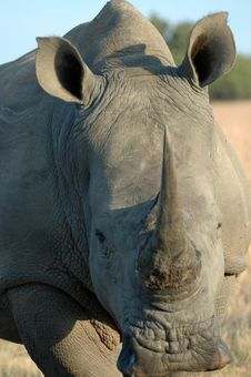 Free Rhinoceros. Royalty Free Stock Photo - 2257875
