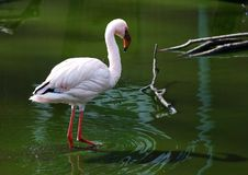 Free Flamingo In The Water Royalty Free Stock Images - 2257999