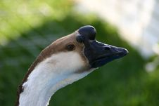 Free Goose Stock Photos - 2258163