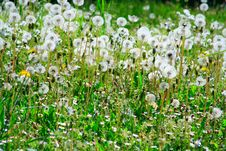 Dandelions In A Meadow Royalty Free Stock Photography