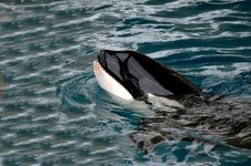 Killer Whale In Water Royalty Free Stock Photography