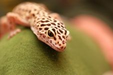 Pakistani Gecko Royalty Free Stock Photography
